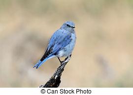 Picture of Mountain bluebird, Sialia currucoides, New Mexico, USA.