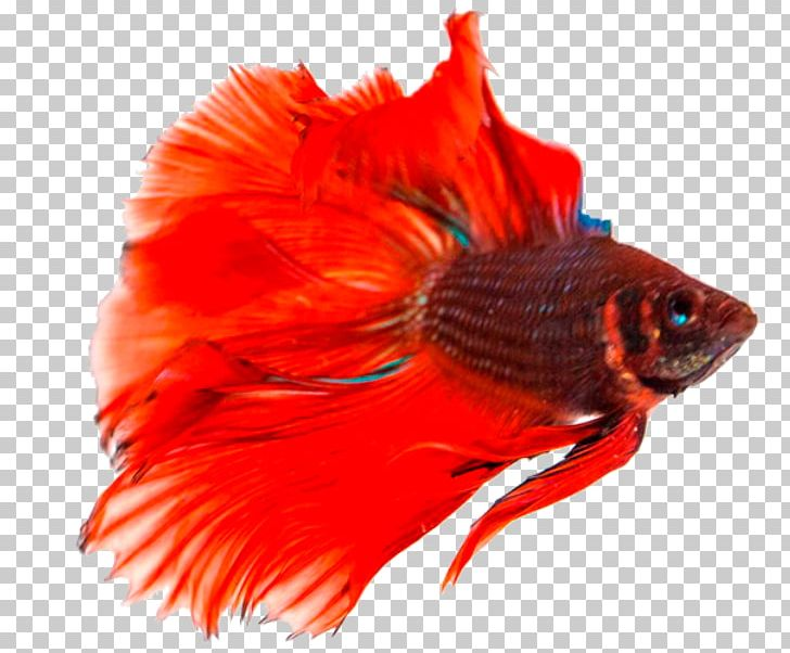 Siamese Fighting Fish Breed PNG, Clipart, Anabantoidei.