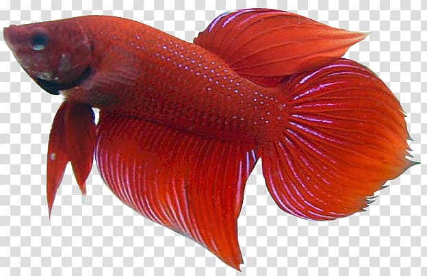 Red betta fish , Siamese fighting fish , Betta transparent.