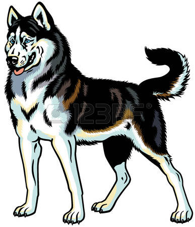 940 Siberian Husky Stock Vector Illustration And Royalty Free.