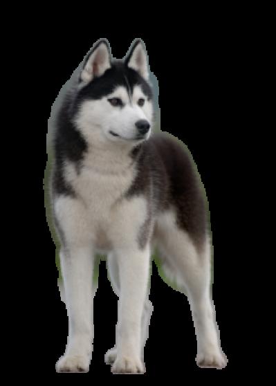 Dog,Siberian husky,Mammal,Vertebrate,Canidae,Alaskan.