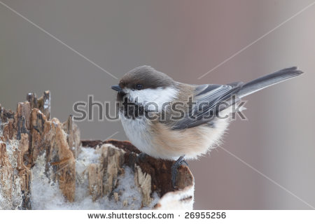 Winter Chickadee Stock Photos, Royalty.
