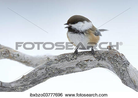 "Stock Images of ""Siberian Tit or Alaska Chickadee (Poecile cinctus."