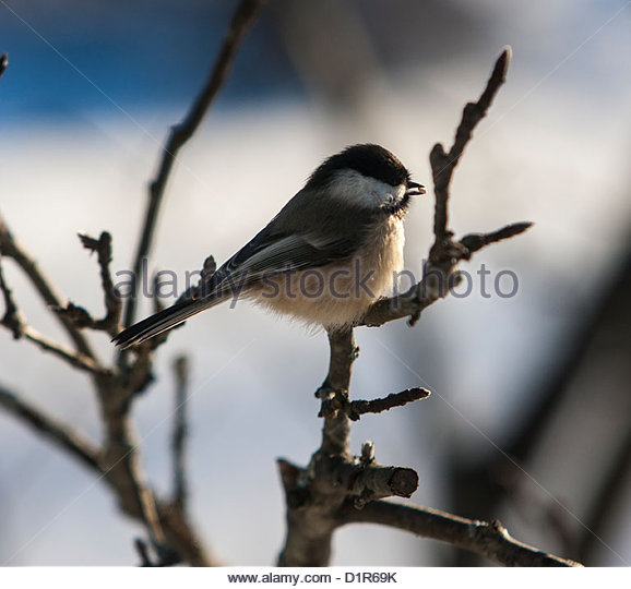 Grey Headed Chickadee Stock Photos & Grey Headed Chickadee Stock.