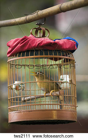 Stock Photography of Chinese Hwamei song bird sings in cage.