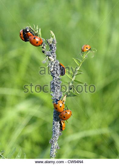 Orange Aphid Stock Photos & Orange Aphid Stock Images.