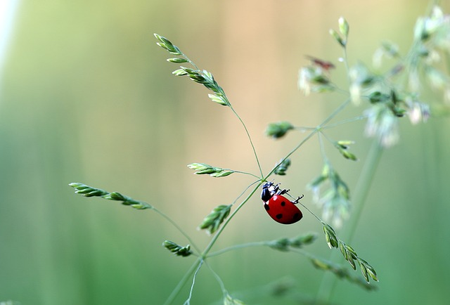 Free photo Beetle Coccinellidae Siebenpunkt Ladybug.