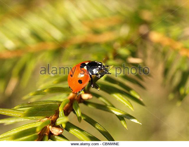Seven Points Ladybugs Stock Photos & Seven Points Ladybugs Stock.