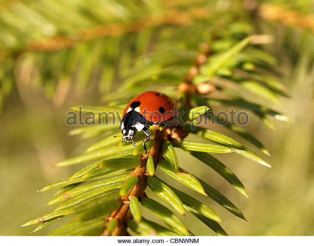 Ladybugs Stock Photos & Ladybugs Stock Images.