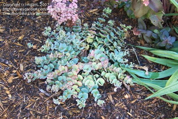 PlantFiles Pictures: Showy Stonecrop, Siebold's Stonecrop, October.