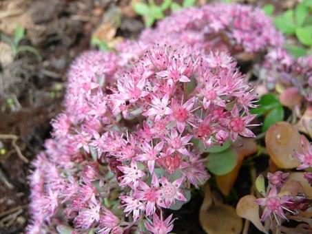 Free photo Flowerpot Sedum Sieboldii Crassulaceae.