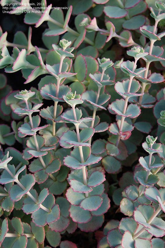 Showy Stonecrop, Siebold's Stonecrop, October Daphne Sedum.