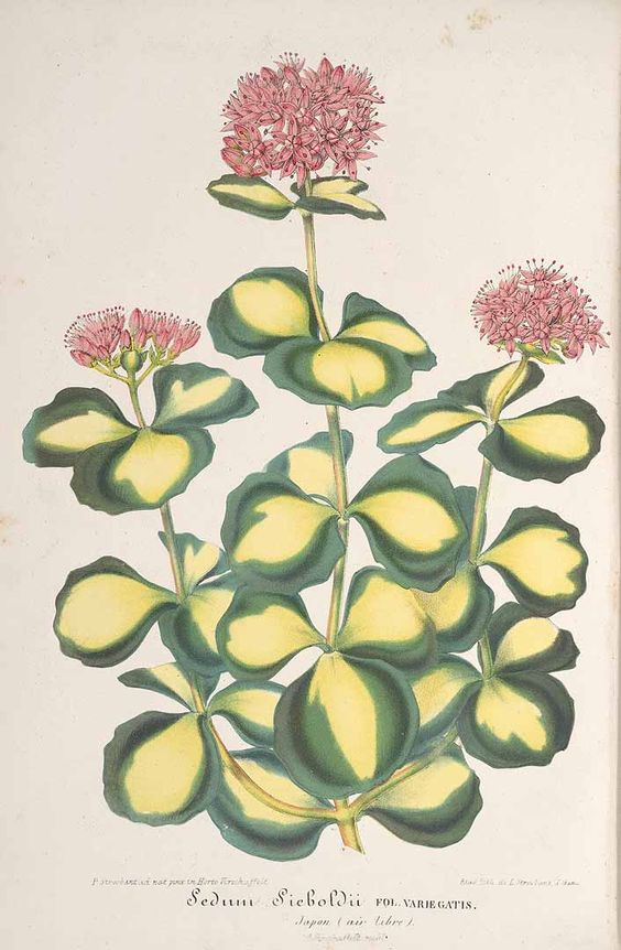 Hylotelephium sieboldii (October stonecrop, Siebold's stonecrop.