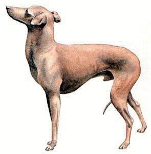 Italian greyhound clipart.