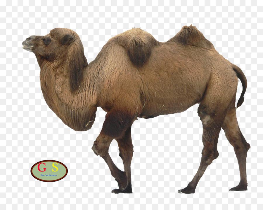 significado de camello clipart Bactrian camel Dromedary.