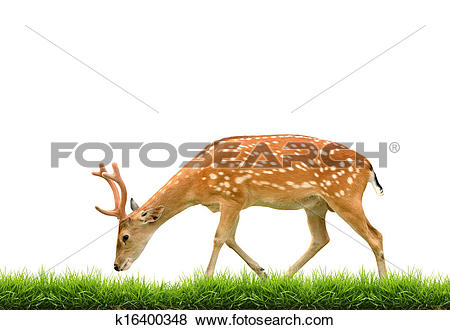 Pictures of sika deer with green grass isolated k16400348.