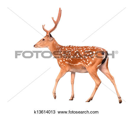 Stock Photo of sika deer isolated k13614013.