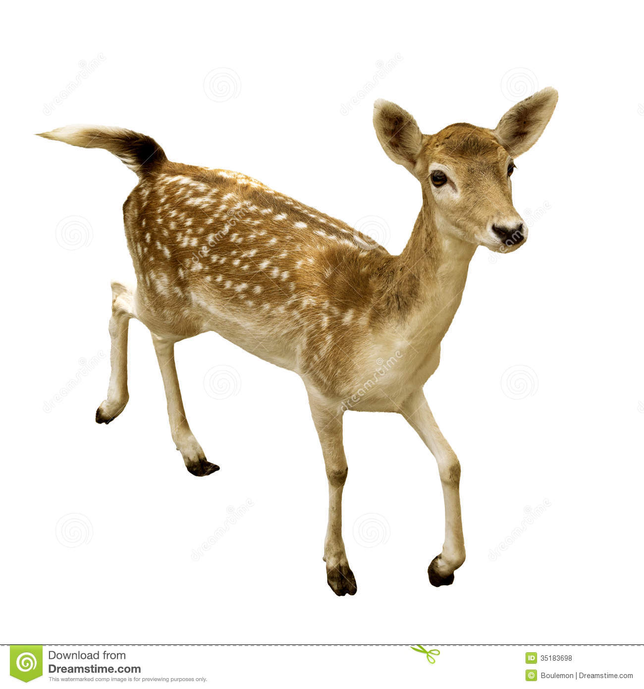 Female Sika Deer Isolated Royalty Free Stock Photos.