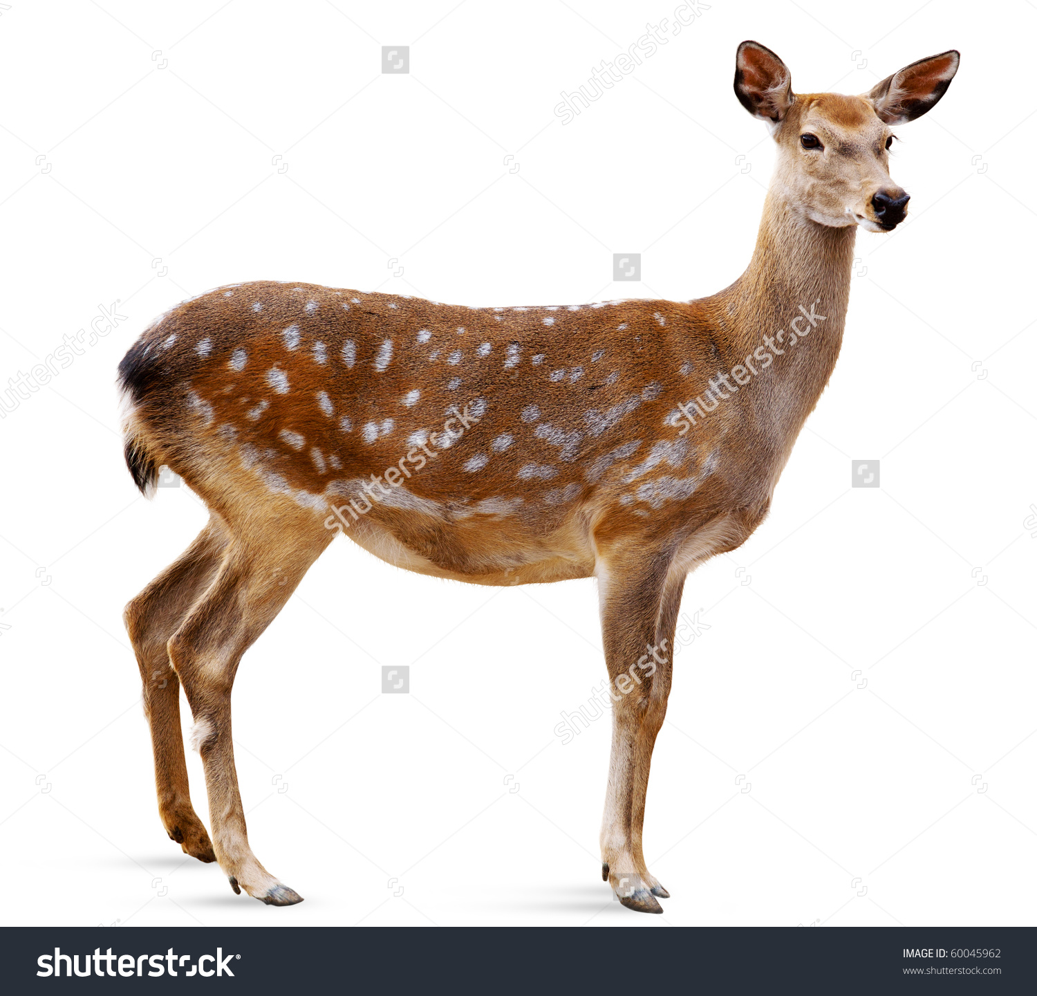 Sika Deer Front White Background Isolated Stock Photo 60045962.