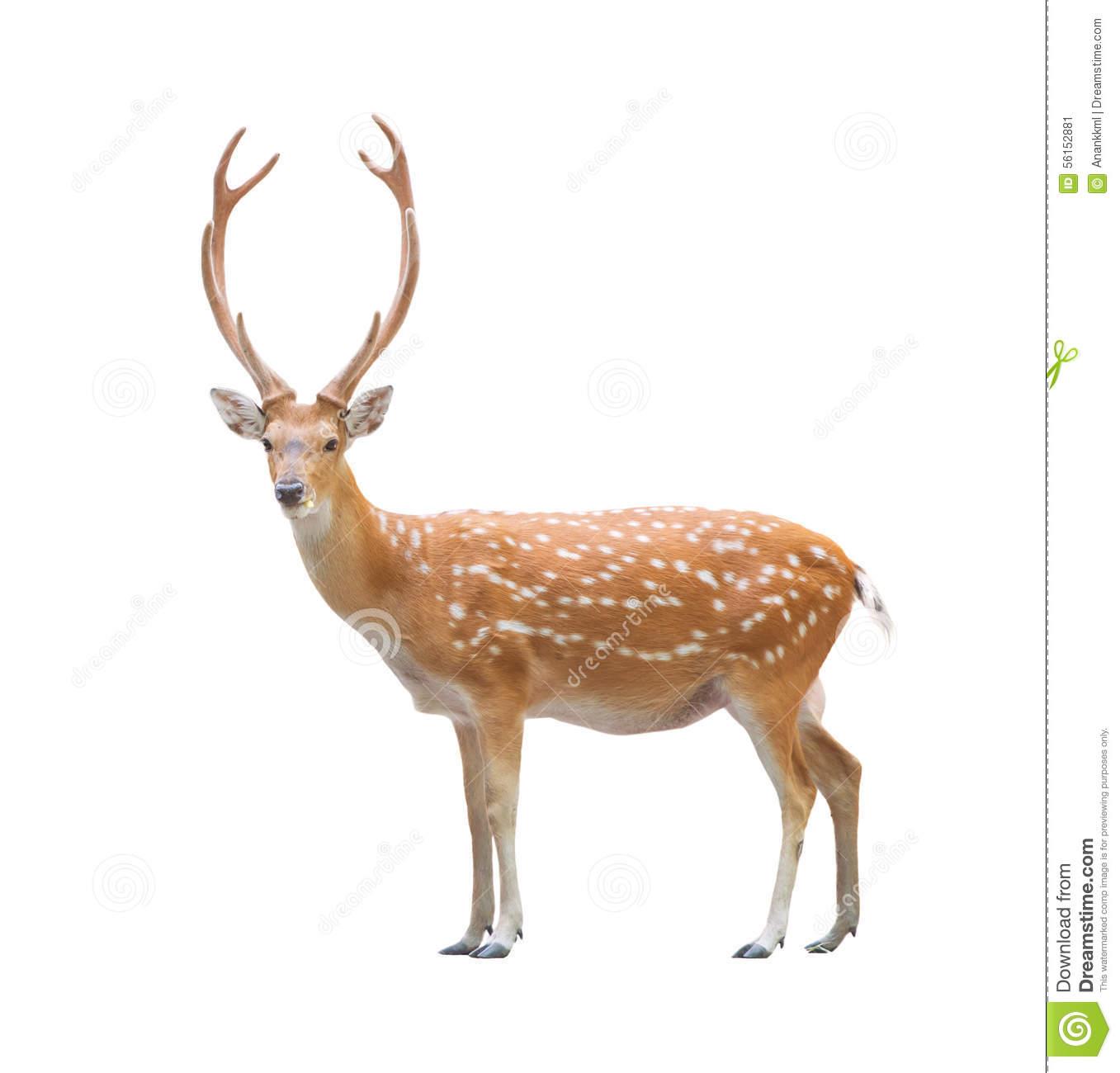 Beautiful Sika Deer Stock Photo.