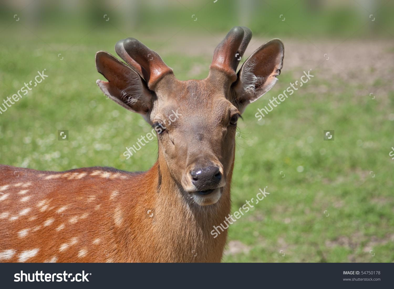 Sika Deer Spotted Deer Japanese Deer Stock Photo 54750178.