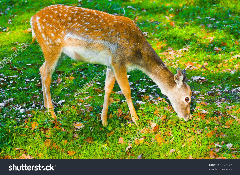 Sika Deer Female Eating Grass Stock Photo 91366127.