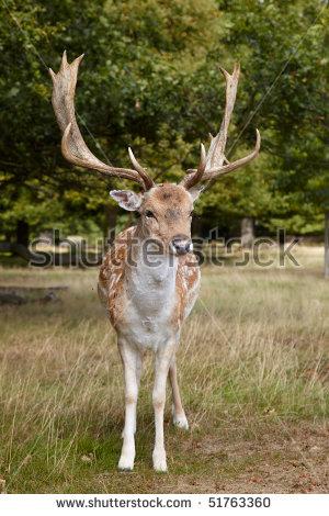 Sika Deer Stock Photos, Royalty.