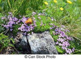 Stock Image of alpine White Moss Campion (silene acaulis) in the.