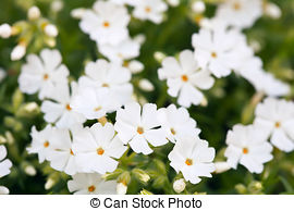 Stock Image of Moss campion (Silene acaulis).