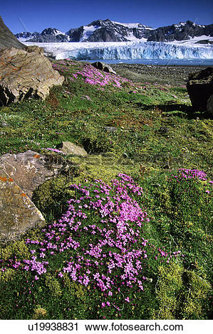 Stock Photography of Moss campion (Silene acaulis) blooming in.