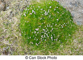 Stock Photo of alpine Moss Campion (silene acaulis) in the wild.