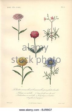 Ranunculus Asiaticus simplex (1070×1650).