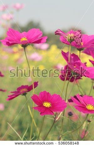 Silene Coronaria Rose Campion Flowers Closeup Stock Photo.