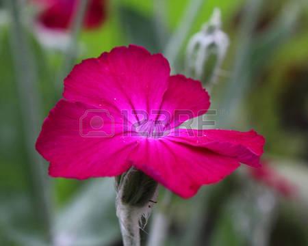 Silene Flower Stock Photos Images. Royalty Free Silene Flower.