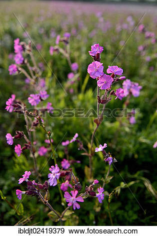 Stock Photograph of Red Campion (Silene dioica) growing along a.