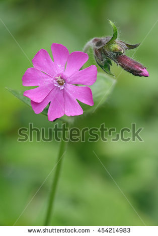 Campion Dioica Red Silene Stock Photos, Royalty.
