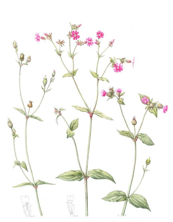 Silene dioica, Common Name: Red campion, Artist: Mally Francis.