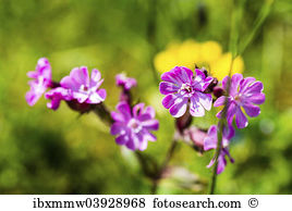 Catchfly Stock Photos and Images. 88 catchfly pictures and royalty.