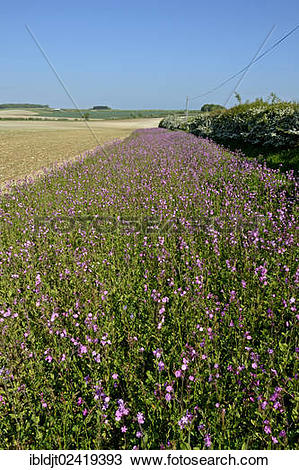 Stock Photo of Wildflower strip planted with Red Campion (Silene.