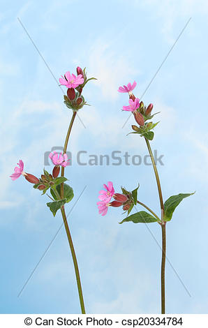 Pictures of Red campion sky.