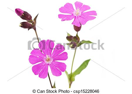 Stock Photo of Silene dioica flower or red campionon on white.