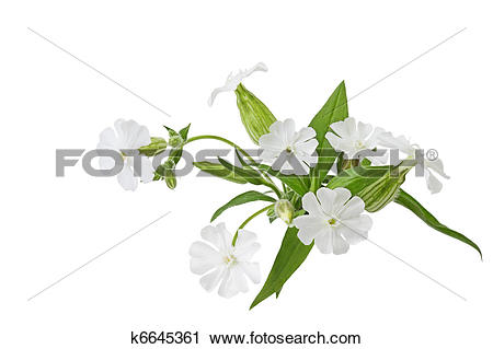 Stock Photography of Silene latifolia Wildflower k6645361.
