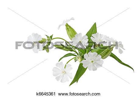 Stock Photography of Silene latifolia Wildflower k6645361.