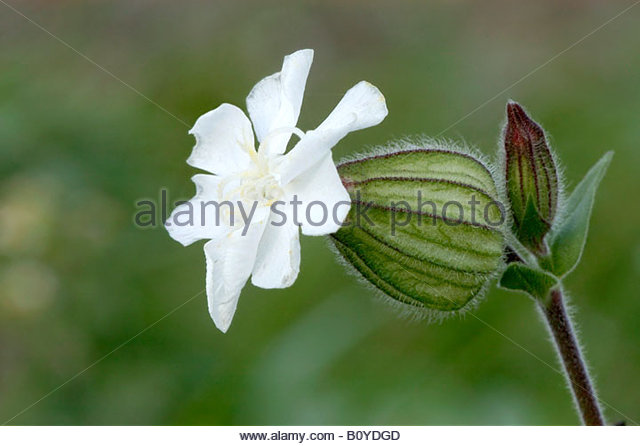 White Campion Silene Latifolia Caryophyllaceae Stock Photos.