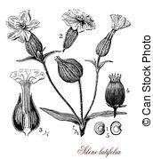 Silene latifolia Illustrations and Clipart. 1 Silene latifolia.