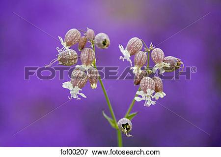 Picture of Germany, Bavaria, Bladder Campion, (Silene vulgaris.