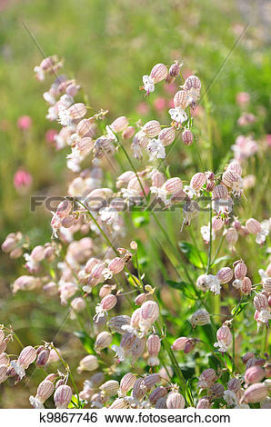 Stock Images of Bladder campion (Silene vulgaris) k9867746.