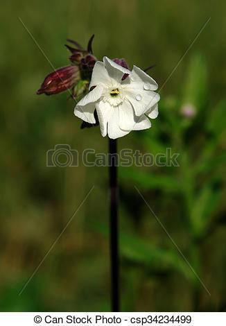 Stock Photographs of Bladder campion (Silene vulgaris) flower.