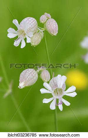 "Stock Image of ""Bladder Campion (Silene vulgaris), flowers, North."