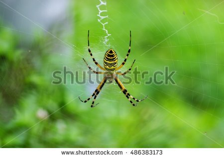 Silk band spider clipart #18